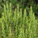 Use alecrim para melhorar a fadiga adrenal e o estresse, um antioxidante surpreendente