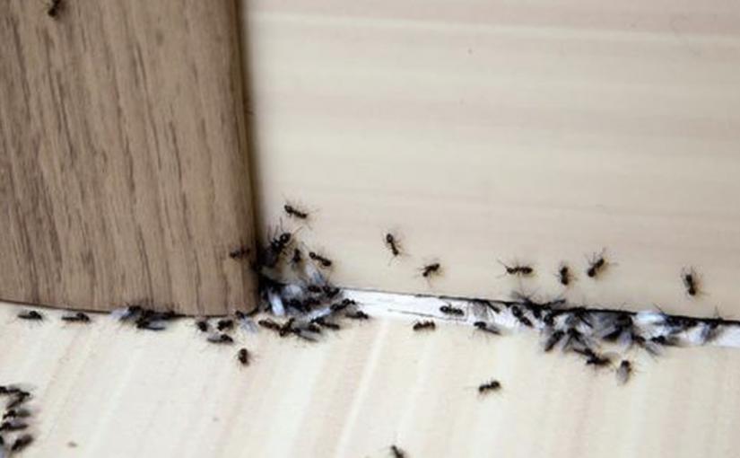 Use este veneno natural para eliminar formigas