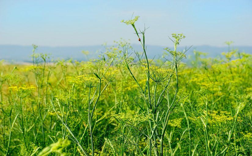 O poder da erva-doce para melhorar a saúde e afastar más energias