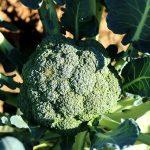 Coma brócolis todos os dias, entenda os 7 motivos