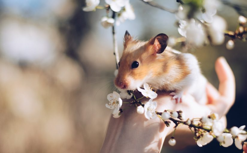 Adote um Hamster fofinho e divertido, estas são as 7 razões para isso